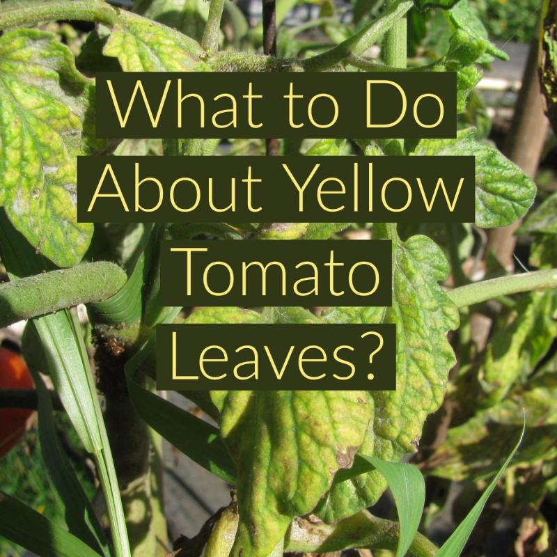 Large Of Tomato Plant Leaves Curling