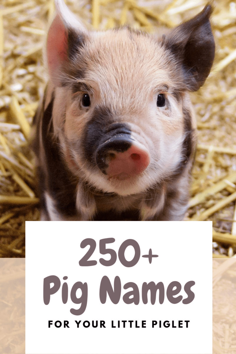 250+ Pet Pig Names for Your Little Piglet PetHelpful
