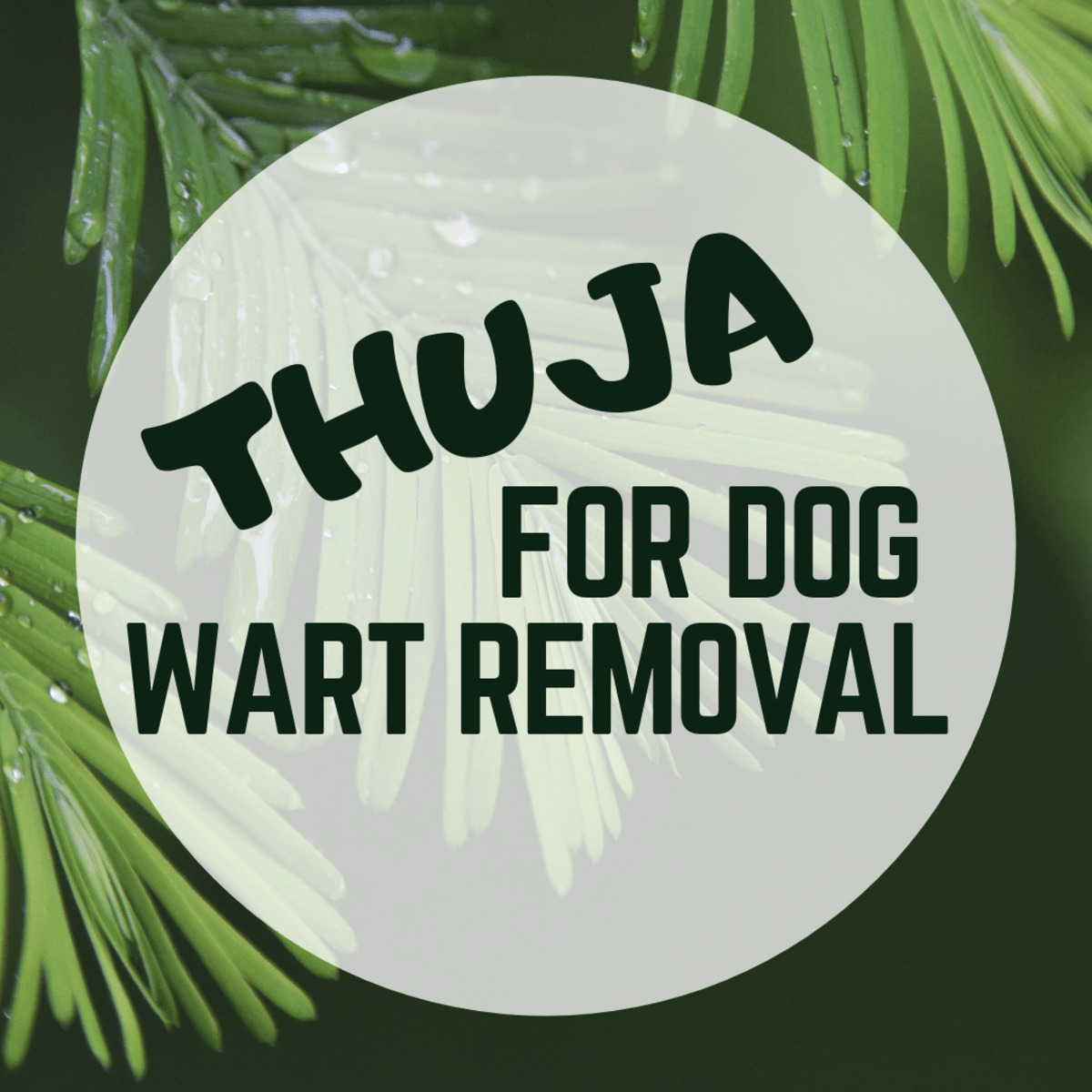 Thuja Lm 18 Dog Wart Removal Using Thuja Pethelpful