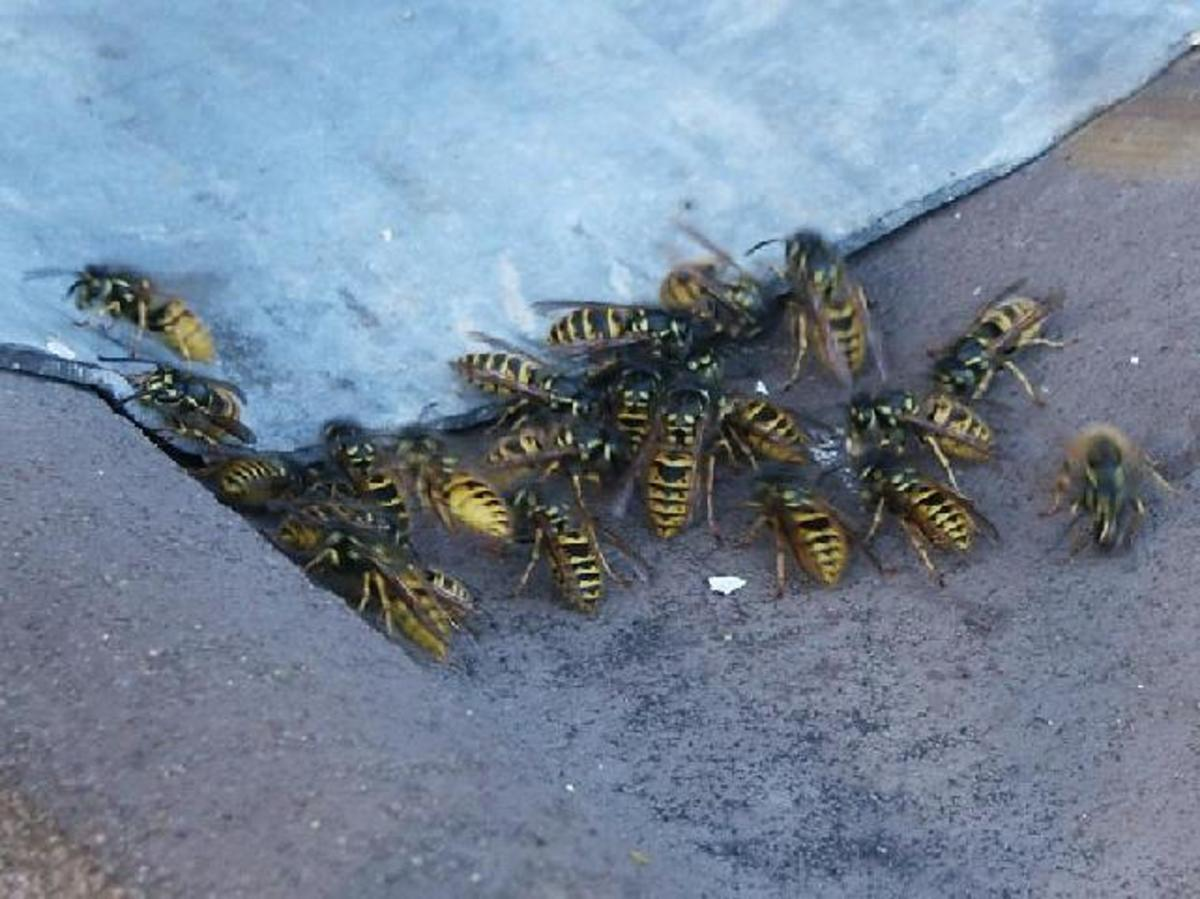 Why Do Aggressive Wasps Always Bother People? Owlcation