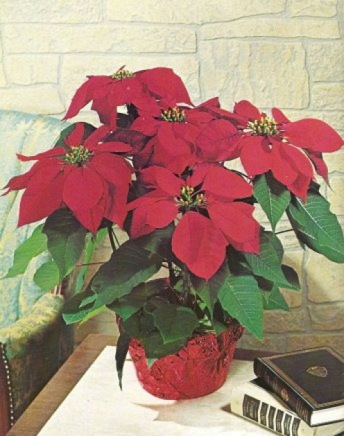 Poinsettia Flower Poisonous How To Grow And Care For Poinsettias