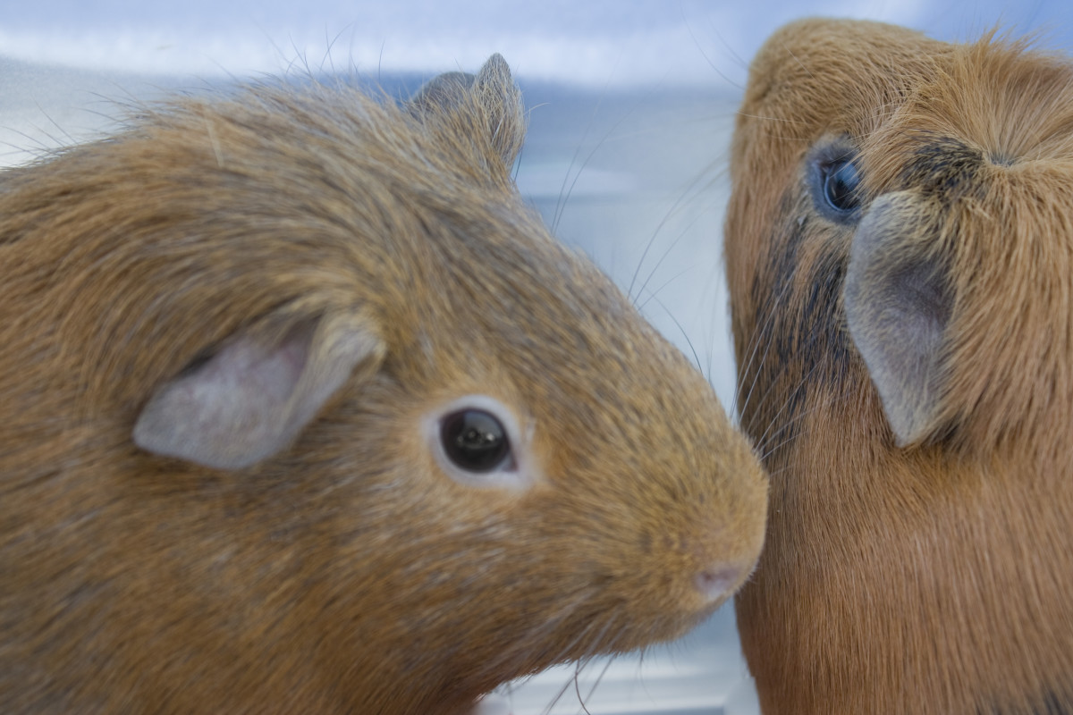 5 Reasons Why Guinea Pigs Make Great Pets PetHelpful
