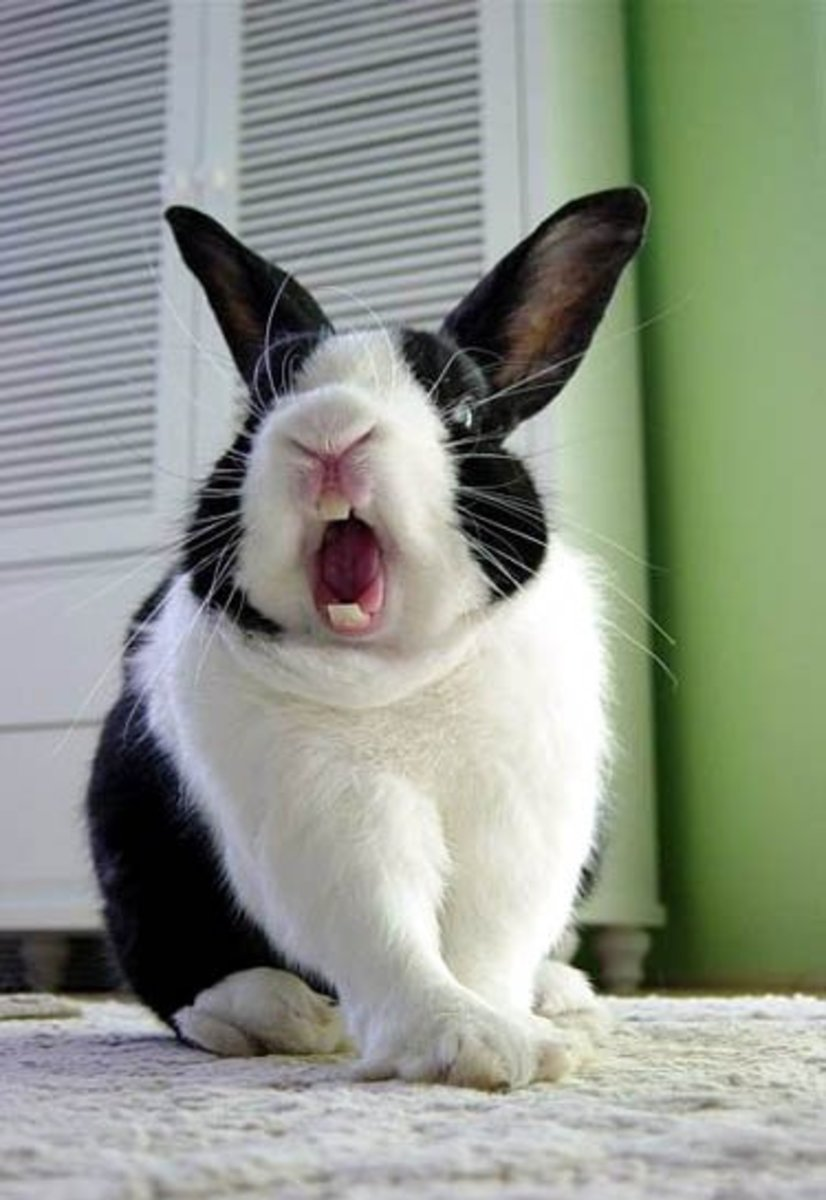 The Bored Bunny - How To Entertain Your Rabbit PetHelpful
