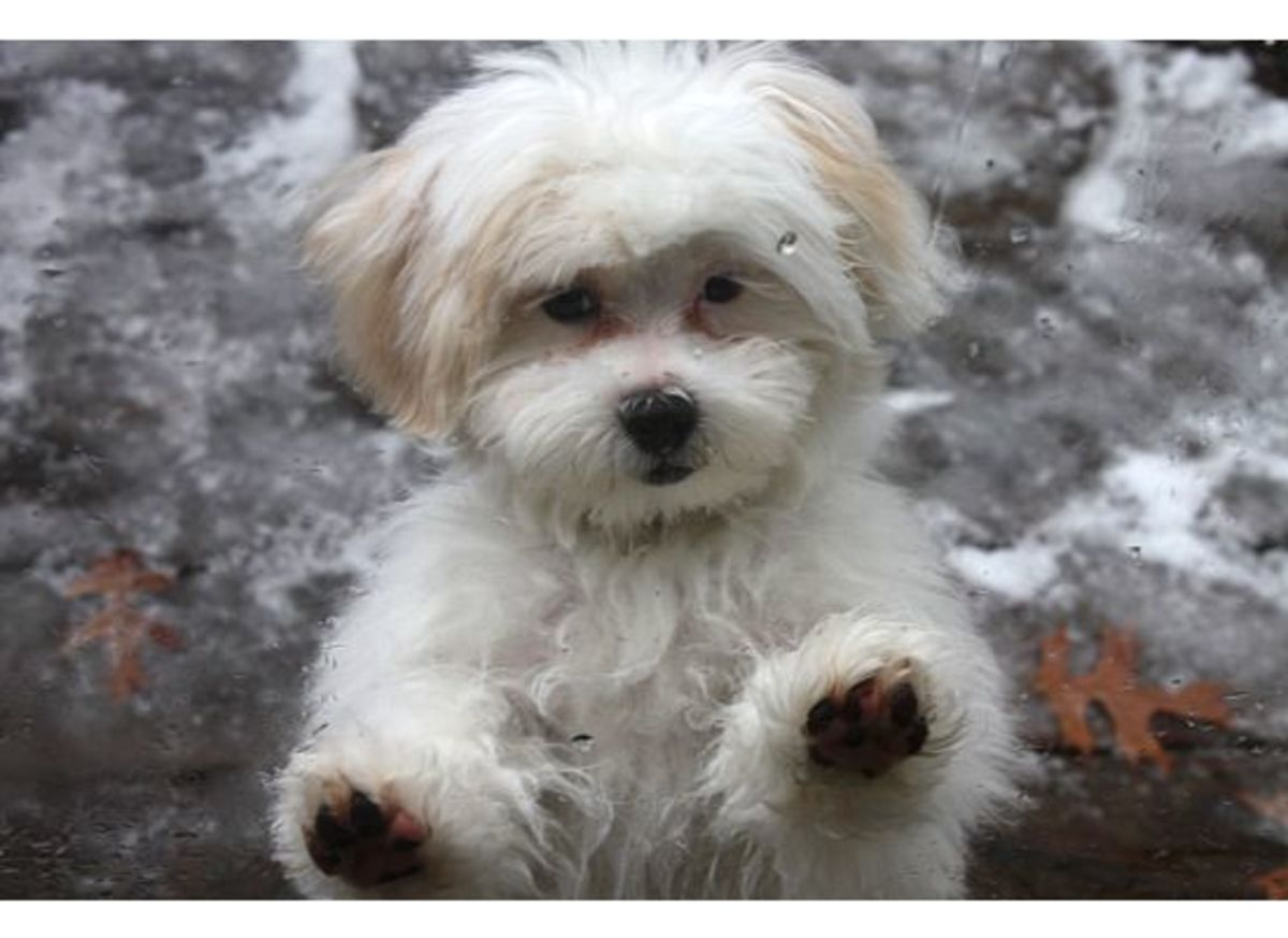 Cute Shih Tzu Puppies Wallpaper Shih Poo Puppy Grooming How To Care For Your Poodle Mix