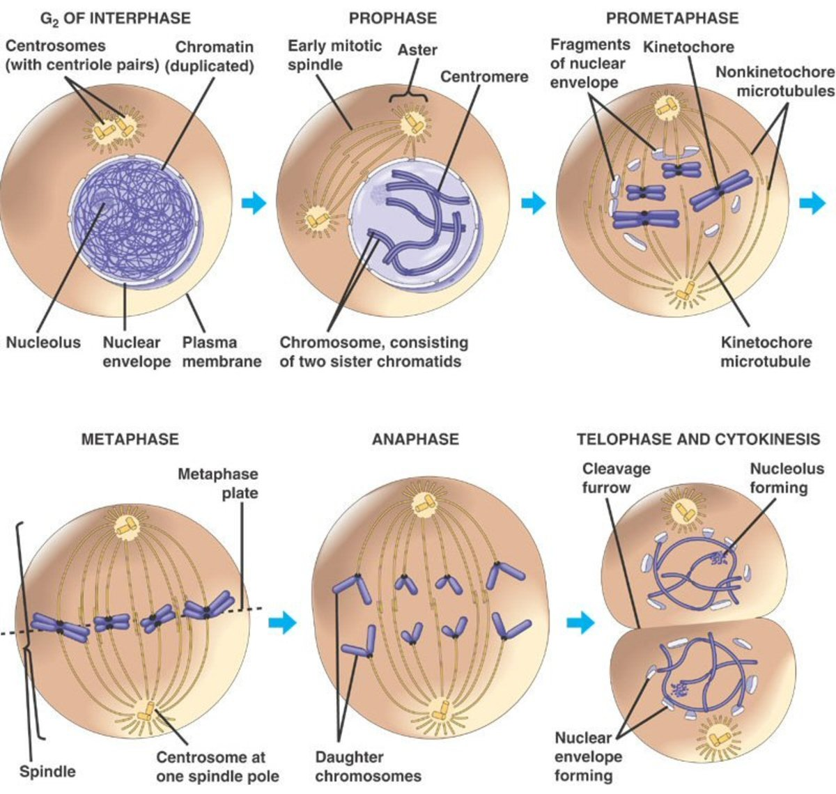 Stages of the Cell Cycle - Mitosis (Metaphase, Anaphase and