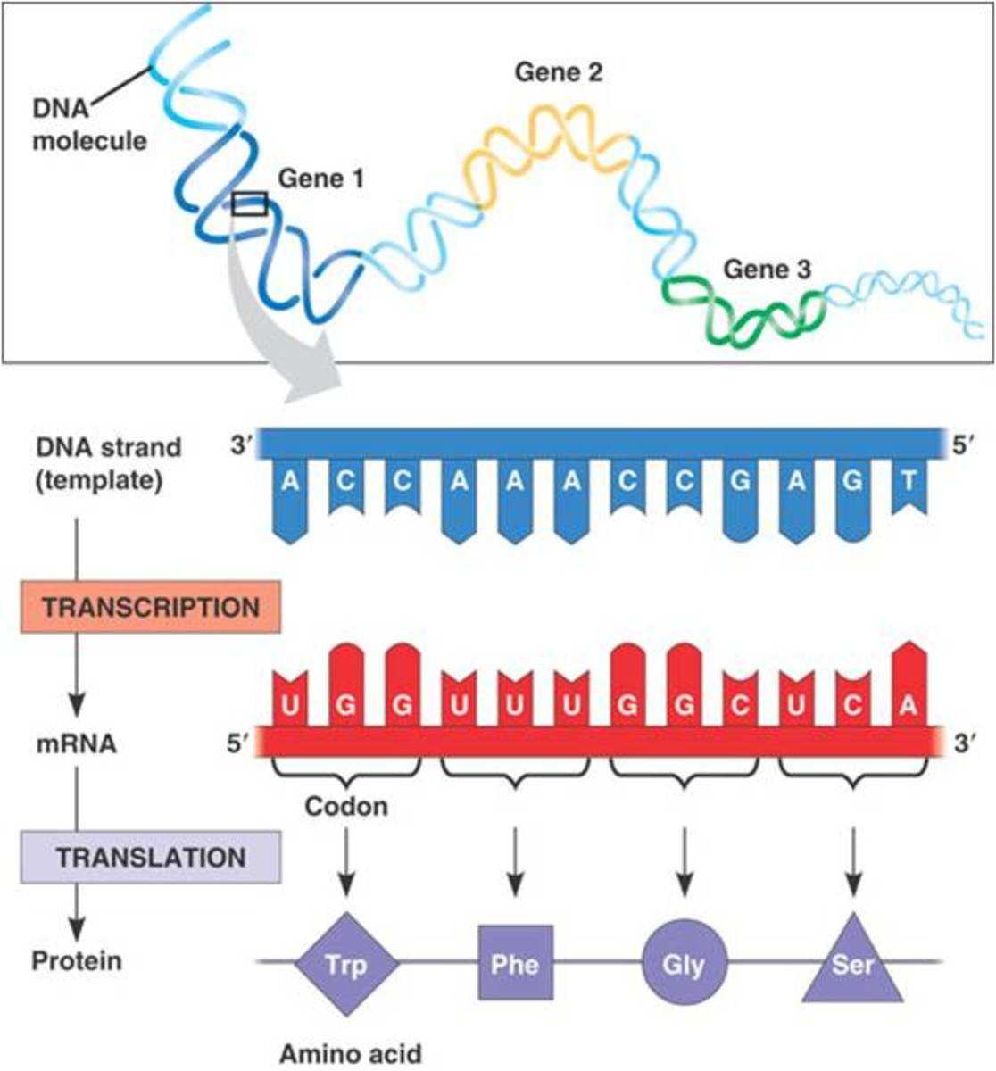Protein Production A Simple Summary of Transcription and