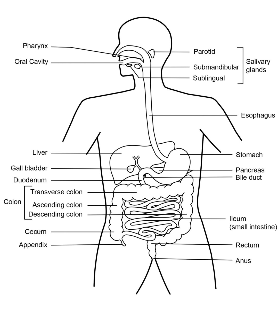 human digestion diagram
