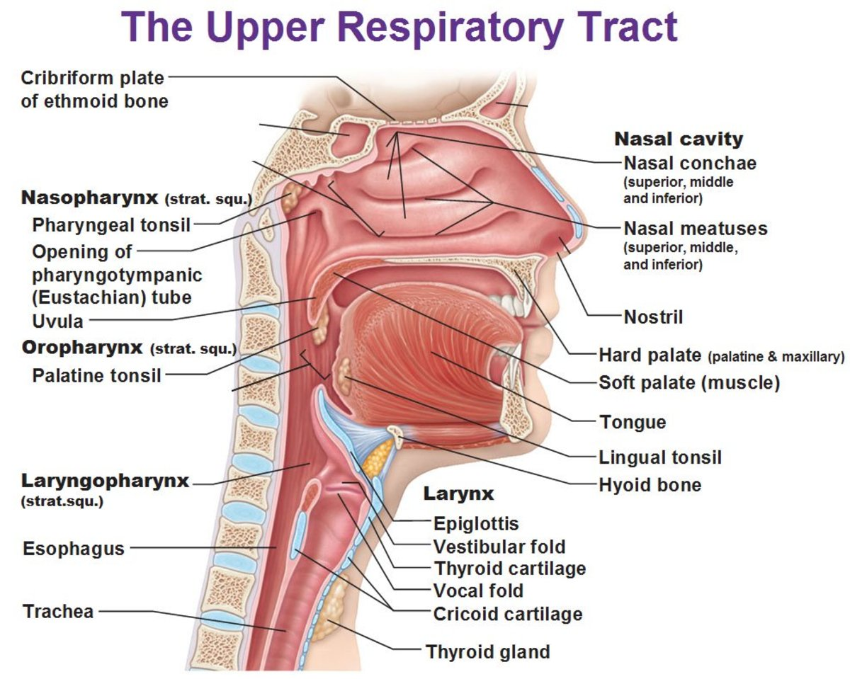 Non-Respiratory Functions of the Respiratory System Owlcation