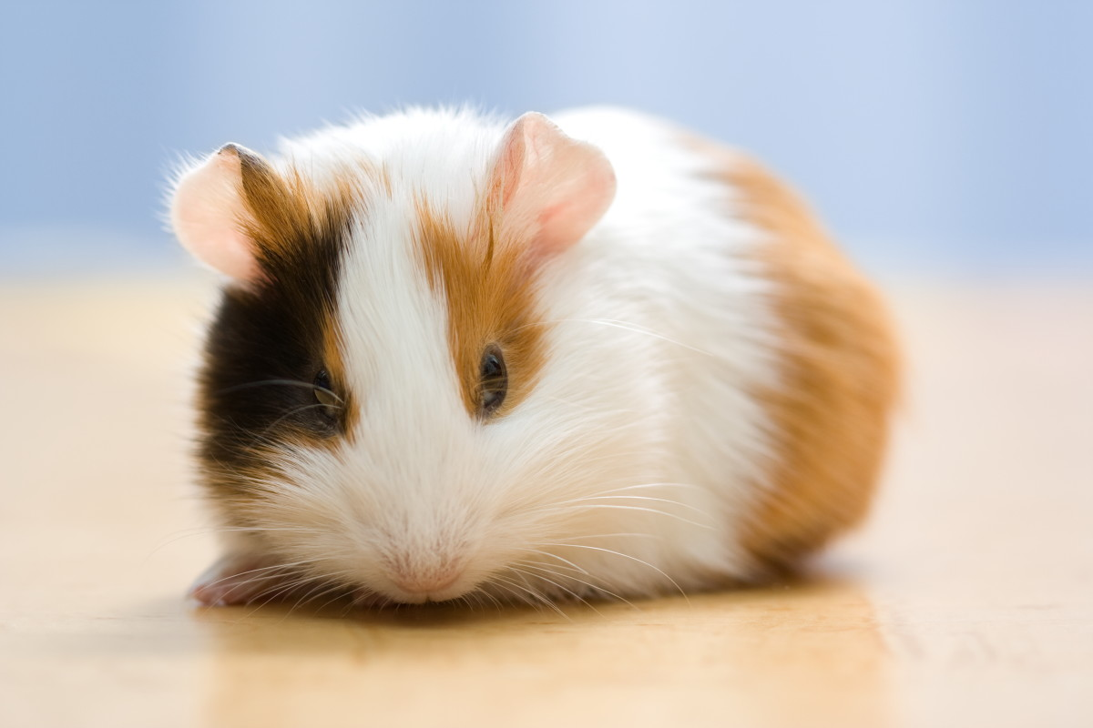 Sad Small Girl Wallpapers 72 Cute And Funny Guinea Pig Names Pethelpful