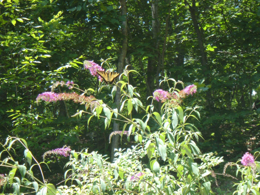 Pruning Butterfly Bushes: How And When To Prune A Butterfly Bush
