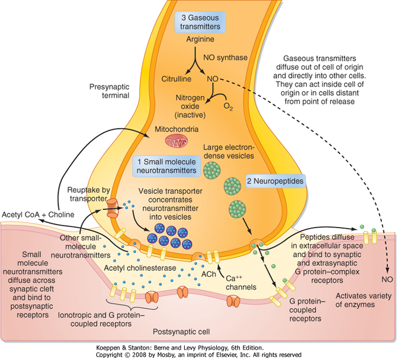 Printed from STUDENT CONSULT Berne and Levy Physiology 6E - The - neuromuscular junction