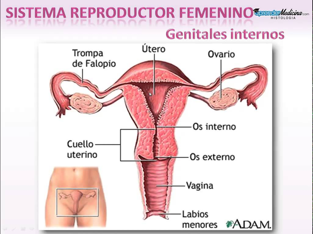 Aparato Reproductor Aparato Reproductor Femenino By Nmelo5 On Emaze