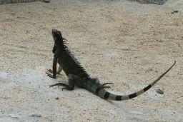 Ca manquait d'iguane depuis les Galapagos