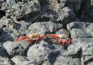 Combat de crabes!