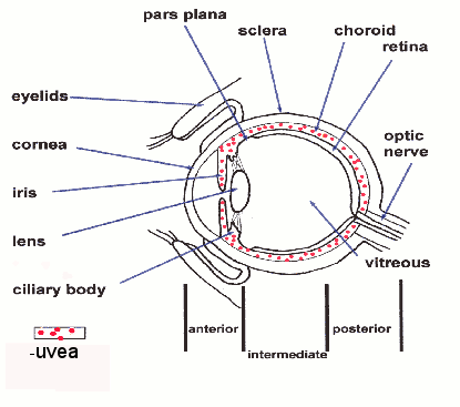 diagram uvea