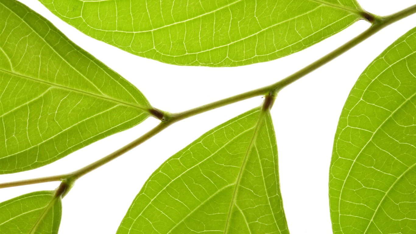 Green leaves wallpaper 13 1366x768 wallpaper download