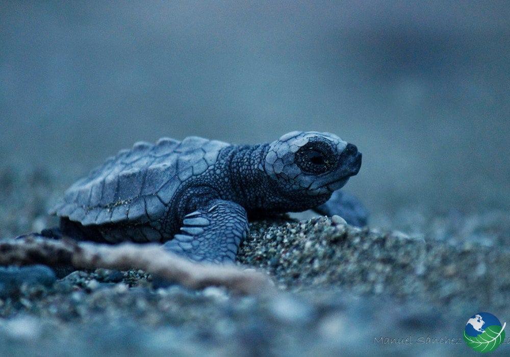 Osa-Peninsula-Turtle