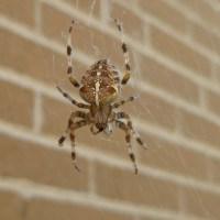 Araneus diadematus - The Cross Spider
