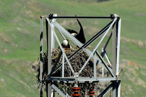 Bald Eagle Nest.  Photopin.com