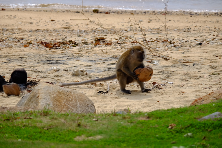 Aap kraakt kokosnoot