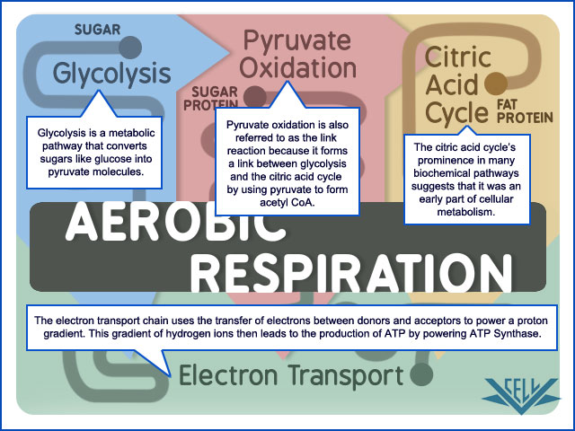 VCAC Cellular Processes The Citric Acid Cycle - An Overview A