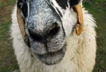 Sheep are friendly and gentle