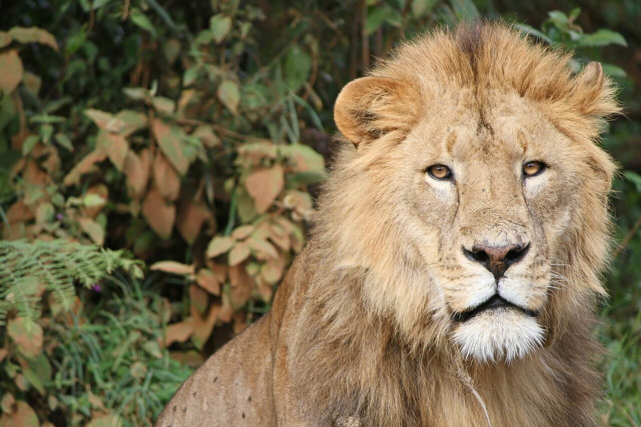 Exotic Animal Wallpaper Cecil The Lion The Carnivores Who Cry Foul Vegaprocity