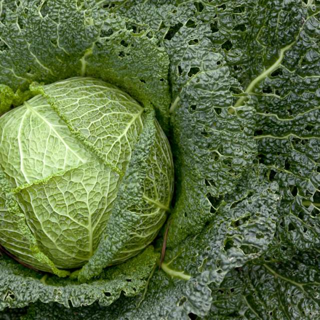 Taste Book Remember Growing Cabbage - Instructions | Growing Tips | Advice