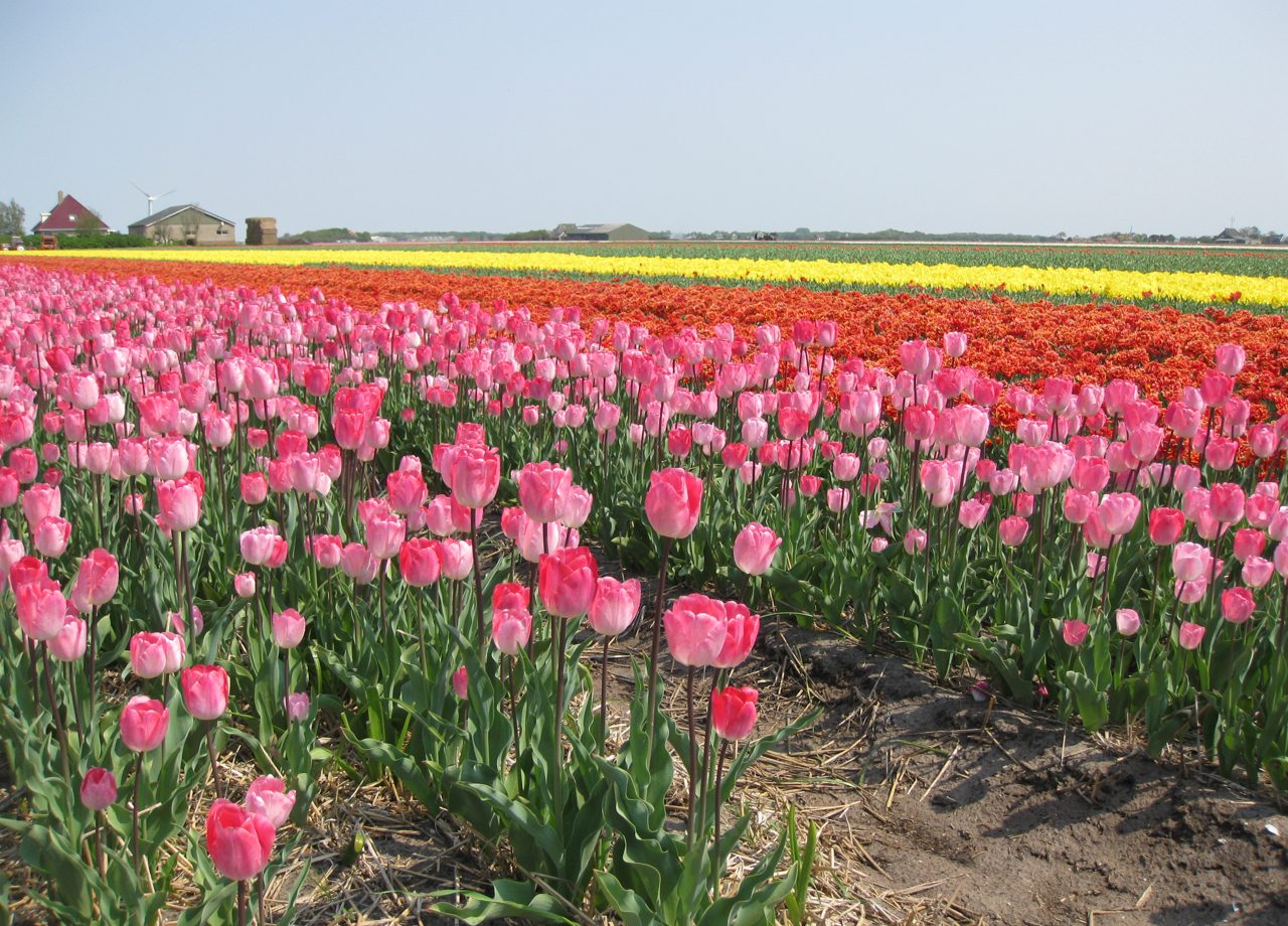 The Tulip Fields Of Holland Where To See Them And How To Get There