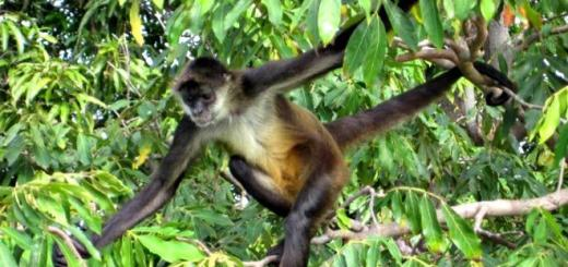 mono-arana