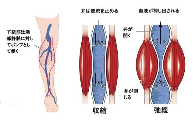 下肢の筋ポンプ
