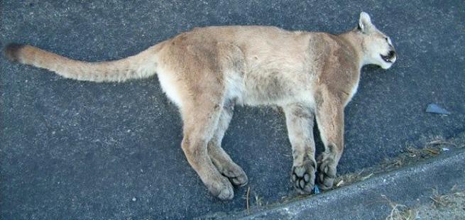 dead-mountain-lion-poor-kitty