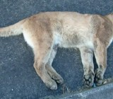 dead-mountain-lion-poor-kitty