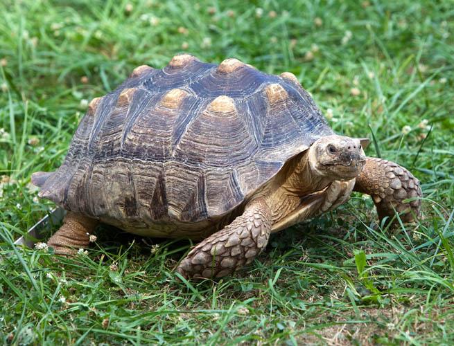 ss tortoise