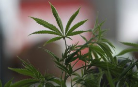 """A Cannabis plant is pictured at the """"Weed the People"""" event as enthusiasts gather to celebrate the legalization of the recreational use of marijuana in Portland, Oregon"""