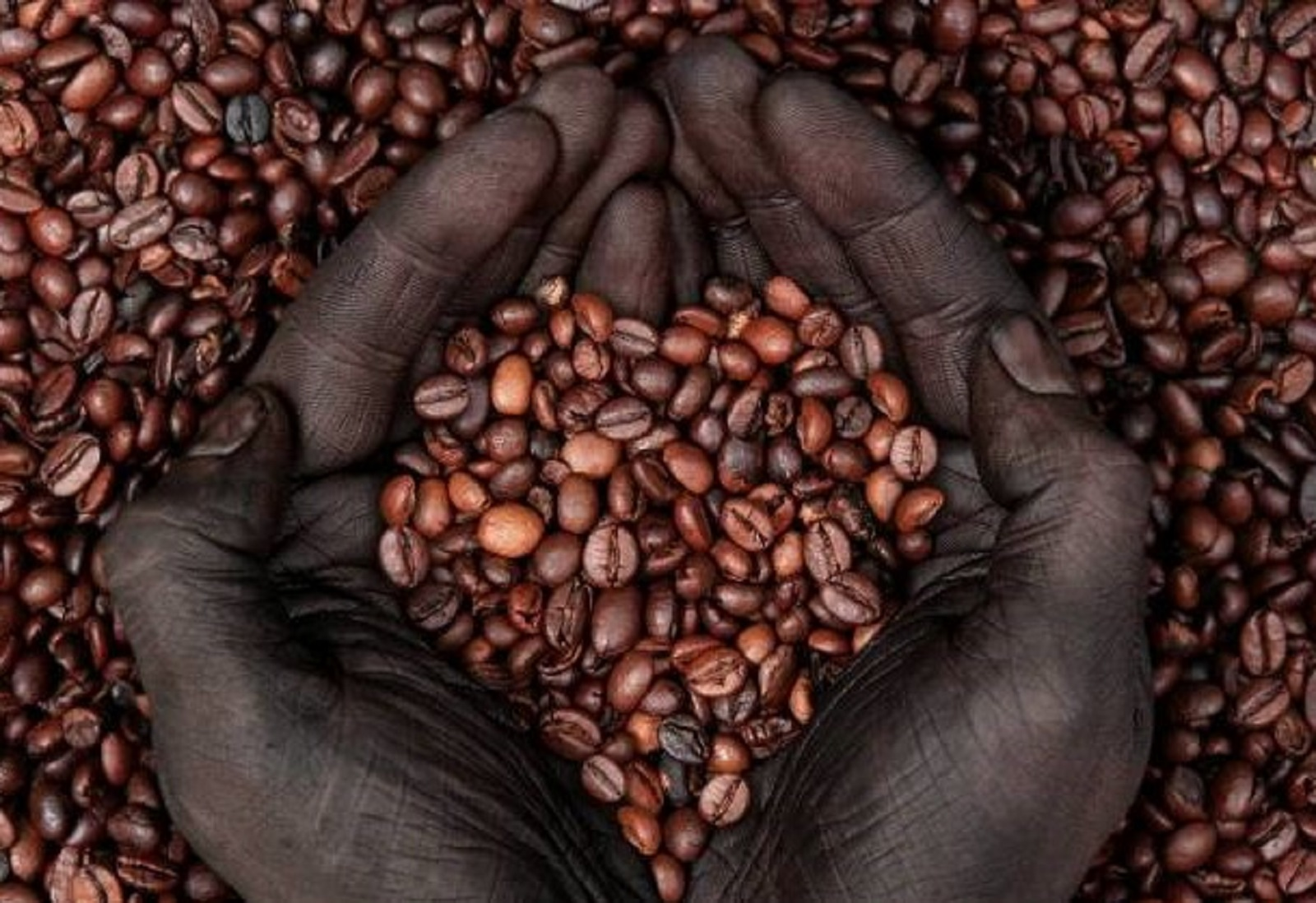 Coffee Arabica In Ethiopia The Projected Extinction Of Wild Coffee Species Could Be