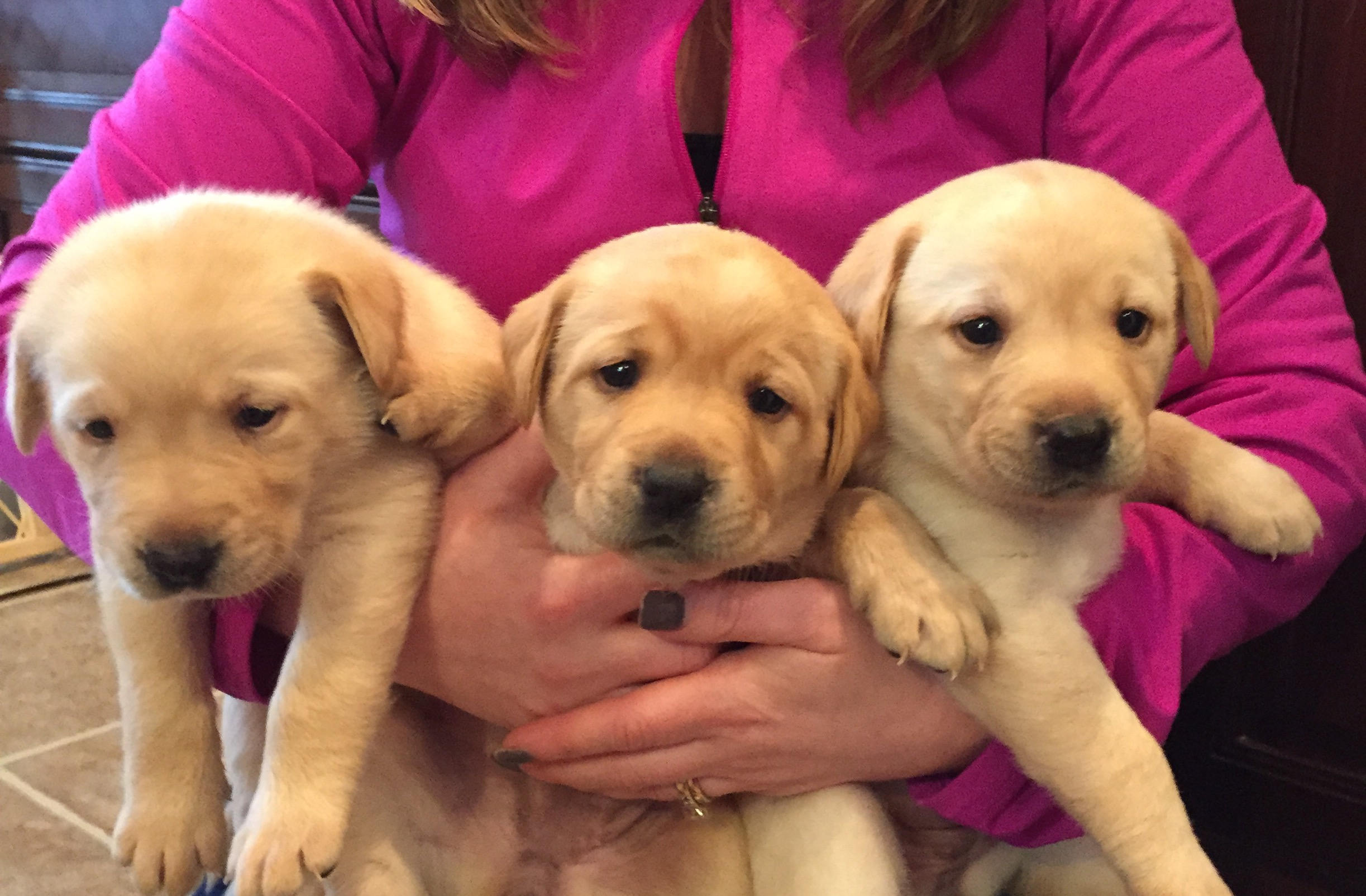 Yellow Lab Dogs For Sale Akc Yellow Lab Puppies For Sale Vernon National Shooting Preserve