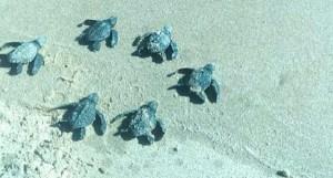 profepa-protege-tortugas-marinas