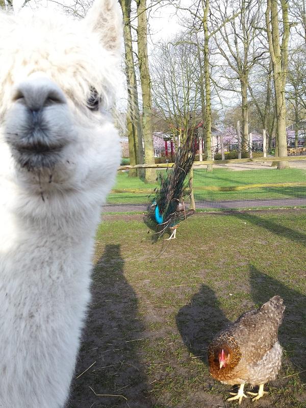 Die alpaca's wilden altijd graag op de foto.