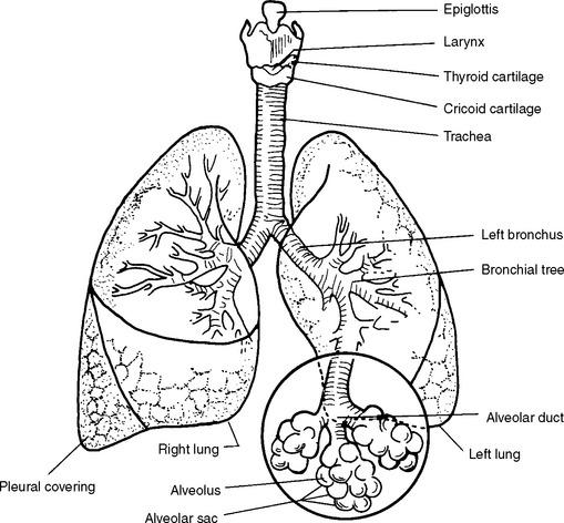 diagram of cat trachea