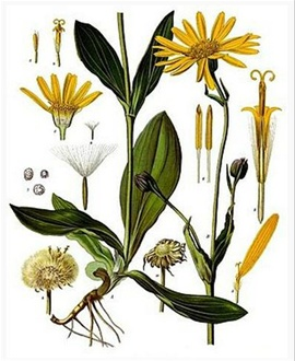 L' Arnica est une plante herbacée de la famille des Astéracées