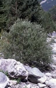 Saule des vanniers ou Osier (salix viminalix)