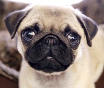 Cute Pet Animals Wallpapers Is A Pug The Right Dog Breed For You