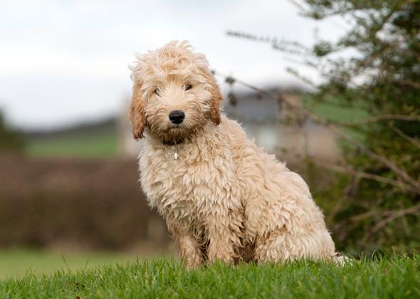 Pink Wallpaper With Cute Puppy Golden Retriever 9 Poo Dog Breeds