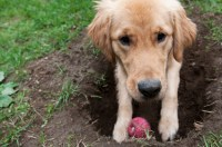 Why Does My Dog... Dig?