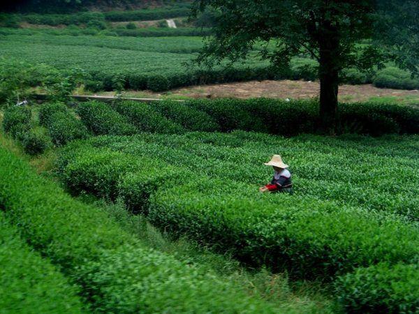 Los Increíbles Campos de té en China