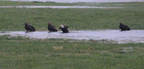 Eagles - Cowichan