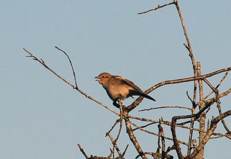 Northern Shrike1