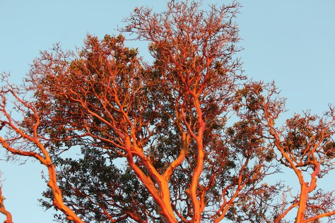 Arbutus sunset