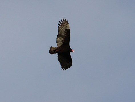 Turkey Vulture2